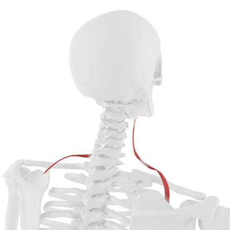 3d rendered medically accurate illustration of the Omohyoid
