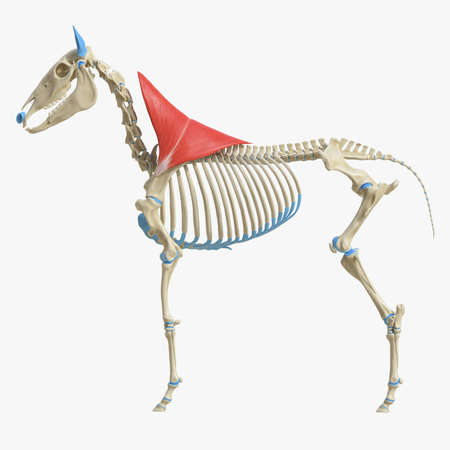 3d rendered medically accurate illustration of the equine muscle anatomy - Trapezius Standard-Bild - 118913695