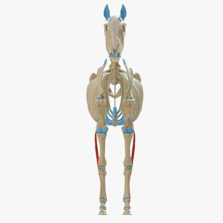 3d rendered medically accurate illustration of the equine muscle anatomy - Flexor Digitorum Superficialis