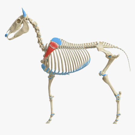 3d rendered medically accurate illustration of the equine muscle anatomy - Supscapularis Standard-Bild - 118913592
