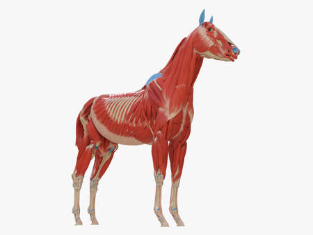 3d rendered medically accurate illustration of the equine muscle anatomy 스톡 콘텐츠