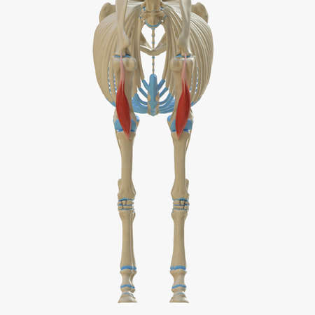 3d rendered medically accurate illustration of the equine muscle anatomy - Biceps Brachii 写真素材 - 118913401
