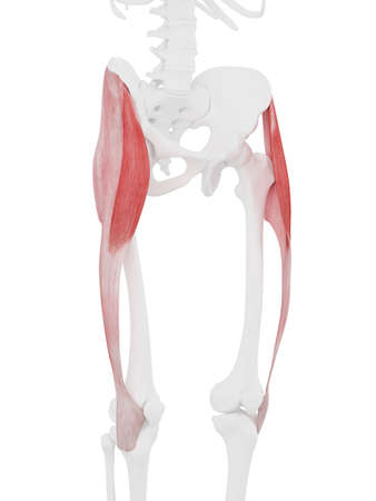 3d rendered medically accurate illustration of the Tensor Fascia Lata