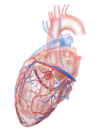 3d rendered medically accurate illustration of the human heart anatomy