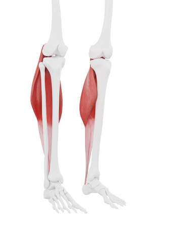 3d rendered medically accurate illustration of the Gastrocnemius Stock Photo