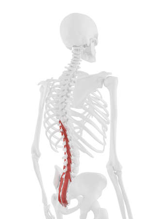 3d rendered medically accurate illustration of the Multifidus 스톡 콘텐츠