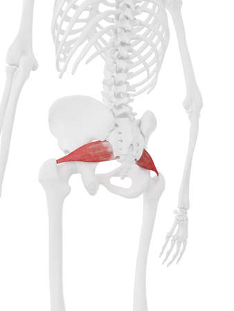 3d rendered medically accurate illustration of the Piriformis 스톡 콘텐츠