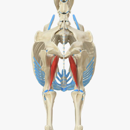 3d rendered medically accurate illustration of the equine muscle anatomy - Adductor Stock Photo