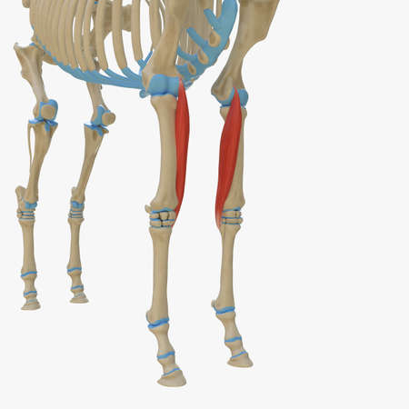 3d rendered medically accurate illustration of the equine muscle anatomy - Flexor Carpi Radialis