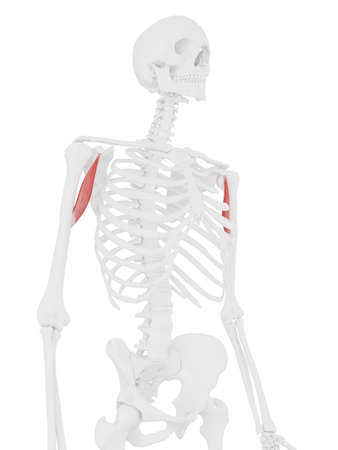 3d rendered medically accurate illustration of the Coracobrachialis Stock Photo
