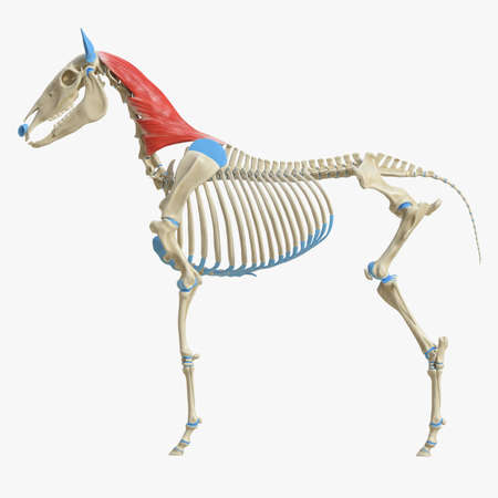 3d rendered medically accurate illustration of the equine muscle anatomy - Splenius Standard-Bild - 118912648