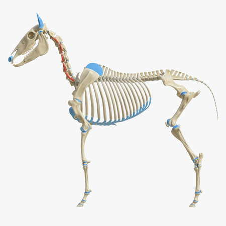 3d rendered medically accurate illustration of the equine muscle anatomy - intertransversarii ventrales