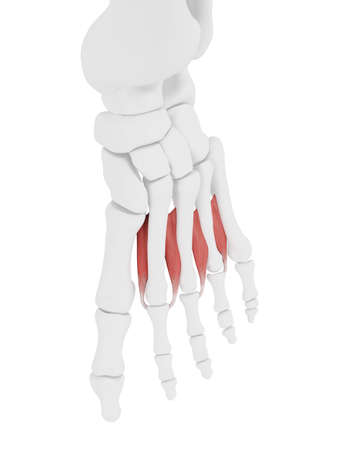3d rendered medically accurate illustration of the Interosseous Dorsal