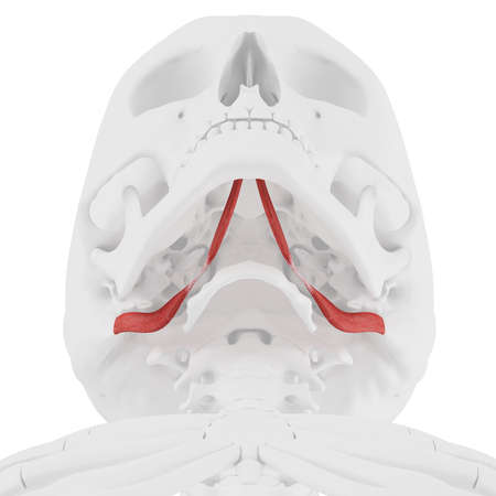 3d rendered medically accurate illustration of the Digastric