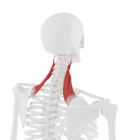 3d rendered medically accurate illustration of the Levator Scapularis