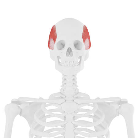 3d rendered medically accurate illustration of the Temporalis Stock Photo