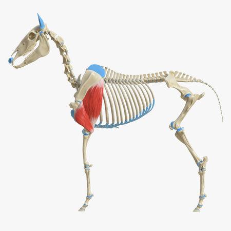 3d rindió la ilustración médicamente exacta de la anatomía del músculo equino - tríceps Foto de archivo