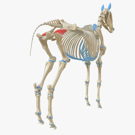 3d rendered medically accurate illustration of the equine muscle anatomy - Gluteus Profundus Stock Photo