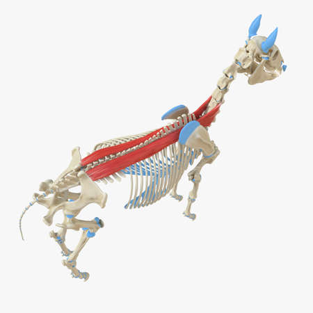 3d rendered medically accurate illustration of the equine muscle anatomy - Spinalis