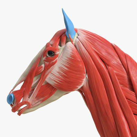 3d rendered medically accurate illustration of the equine muscle anatomy - head muscles Stock Photo