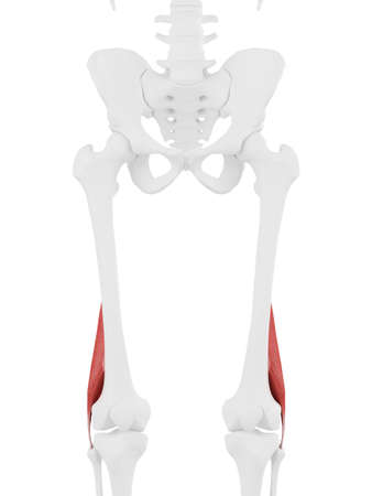 3d rendered medically accurate illustration of the Short Biceps Femoris