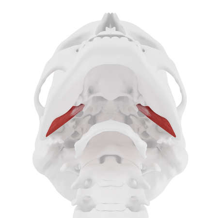 3d rendered medically accurate illustration of the External Pterygoideus