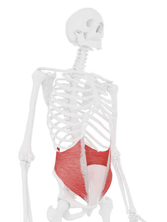 3d rendered medically accurate illustration of the Internal Oblique