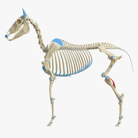 3d rendered medically accurate illustration of the equine muscle anatomy - Popliteus