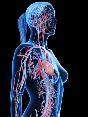 3d rendered medically accurate illustration of the female vascular system