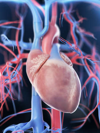 3d rendered medically accurate illustration of the female vascular system Stock Photo