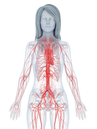 3d rendered medically accurate illustration of a womans heart and vascular system