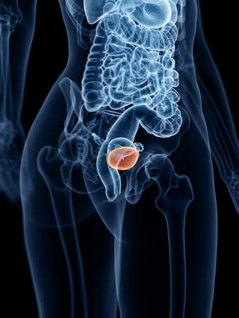 3d rendered medically accurate illustration of a womans bladder