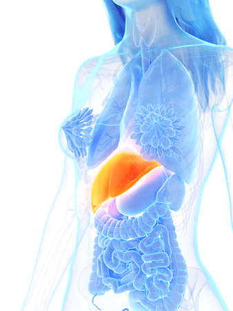 3d rendered medically accurate illustration of a womans liver Stock Photo