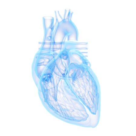 3d rendered medically accurate illustration of a human heart