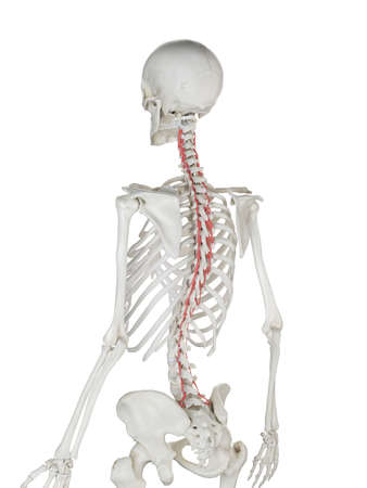 3d rendered medically accurate illustration of a womans Rotatores Stock Photo