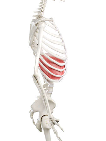 3d rendered medically accurate illustration of a womans Diaphragm 스톡 콘텐츠