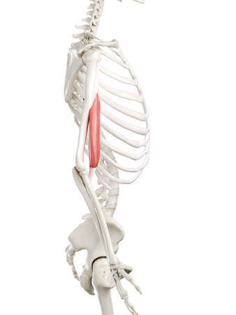 3d rendered medically accurate illustration of a womans Biceps