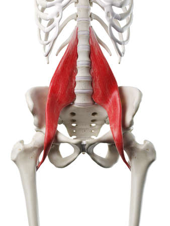 3d rendered medically accurate illustration of a womans Psoas Major