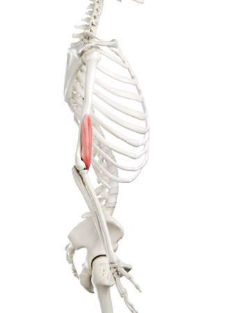 3d rendered medically accurate illustration of a womans Brachialis Stock Photo