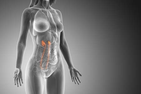 3d rendered medically accurate illustration of a womans ureters Foto de archivo - 120280400
