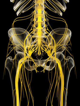 3d rendered medically accurate illustration of the pelvis nerves