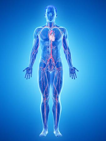 3D-gerenderde medisch nauwkeurige illustratie van het vasculaire systeem van een man