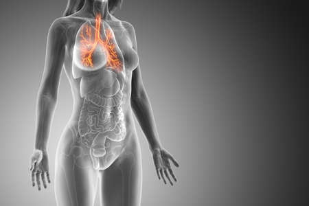 3d rendered medically accurate illustration of a womans bronchi