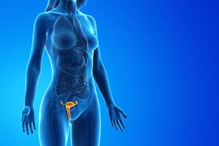 3d rindió la ilustración médicamente exacta del útero de una mujer