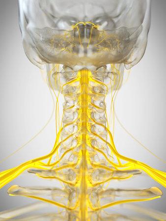 3d rendered medically accurate illustration of the cervical nerves Reklamní fotografie