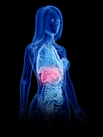 3d rendered medically accurate illustration of a womans liver Banque d'images
