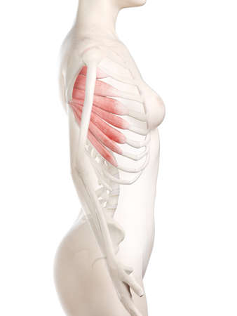 3d rendered medically accurate illustration of a womans Serratus Anterior