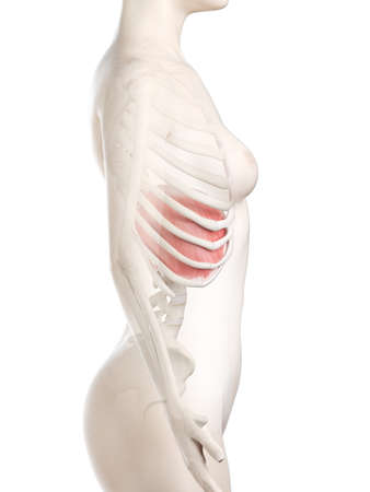 3d rendered medically accurate illustration of a womans Diaphragm Stock Photo