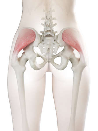 3d rendered medically accurate illustration of a womans gluteus medius