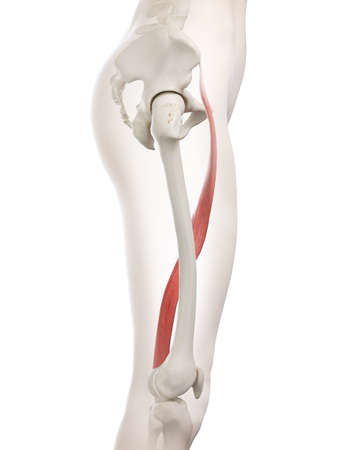 3d rendered medically accurate illustration of a womans Sartorius